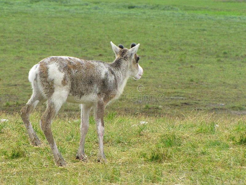 鹿夏天照片在寒带草原 库存图片