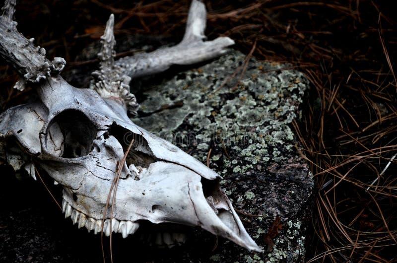 鹿头骨在森林里 免版税库存图片