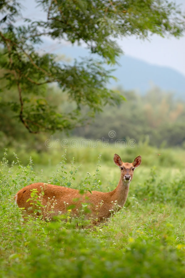 鹿密林 库存图片