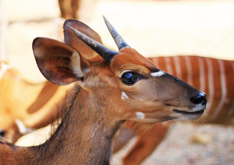 鹿或goral 免版税库存图片