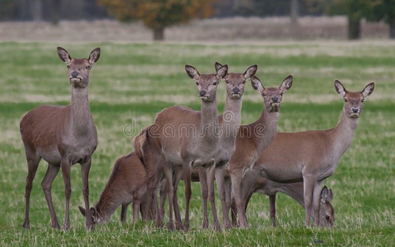 鹿执行红色 库存图片