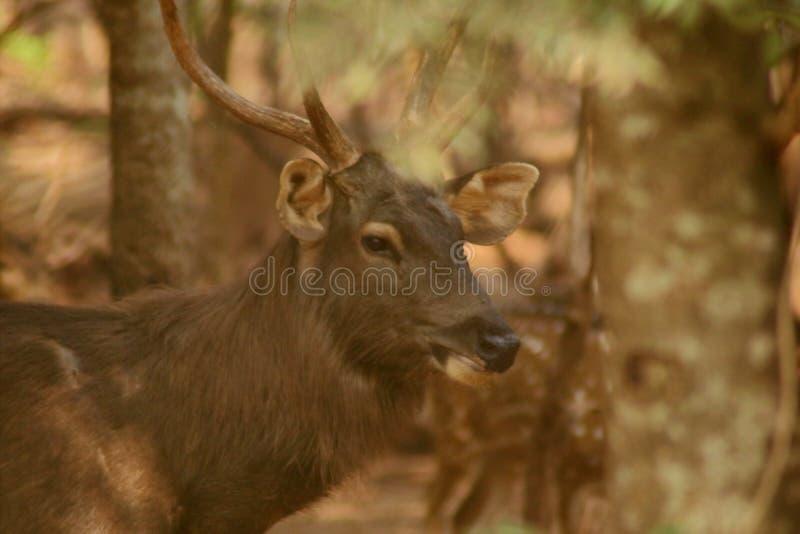 鹿有大垫铁 免版税库存照片
