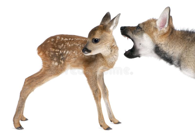 鹿欧亚小鹿互相作用獐鹿狼 库存图片