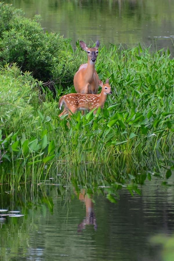 鹿母鹿小鹿白尾鹿 库存照片