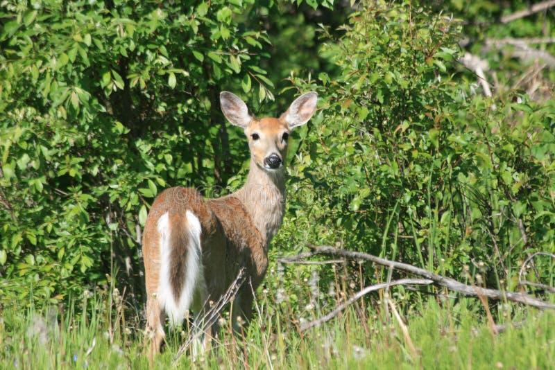 鹿母鹿白尾鹿 库存图片