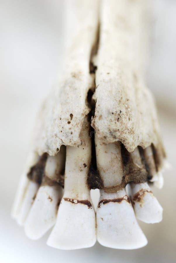 鹿牙和骨头 免版税库存照片