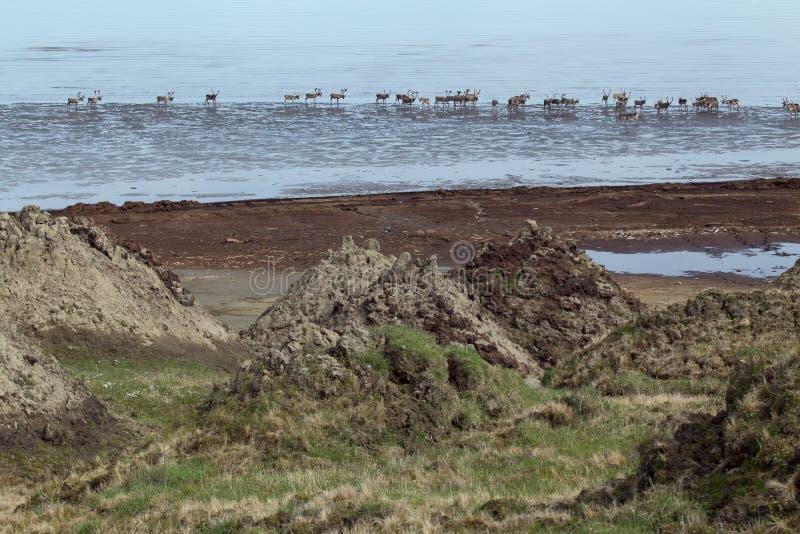 鹿牧群在海 免版税库存图片