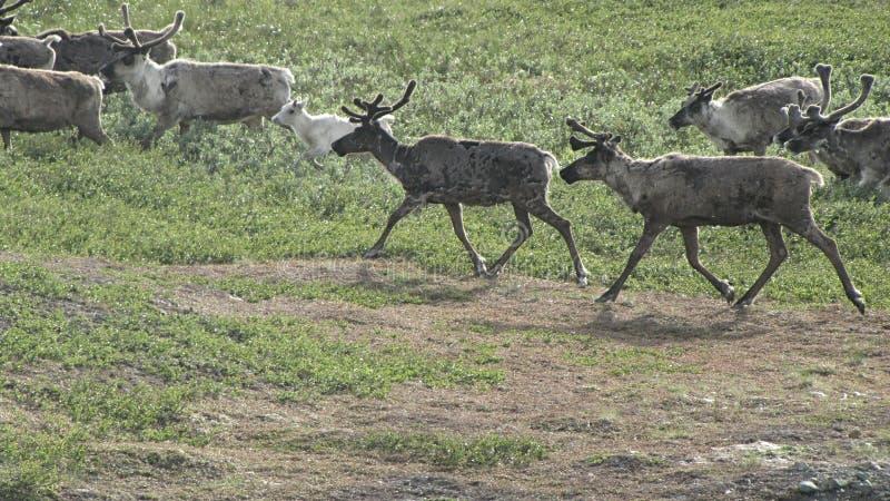 鹿牧群 库存照片