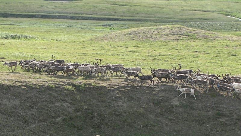 鹿牧群 免版税库存图片