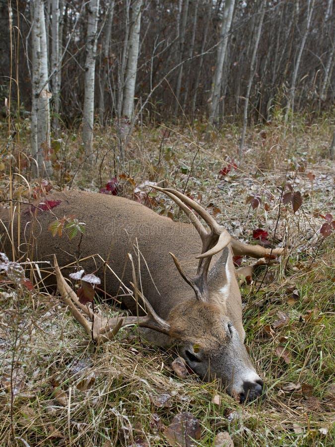 鹿狩猎在明尼苏达 库存图片