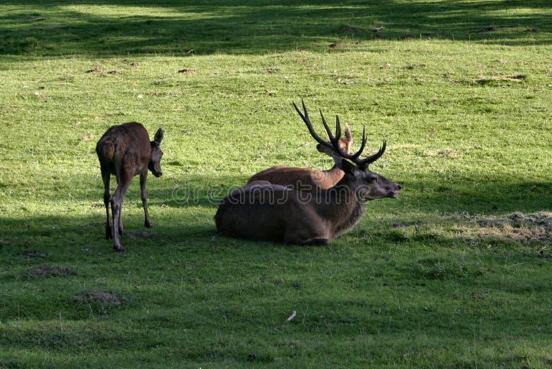 鹿系列 库存图片