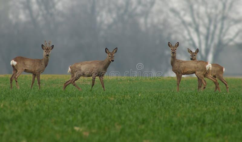 鹿系列 库存照片