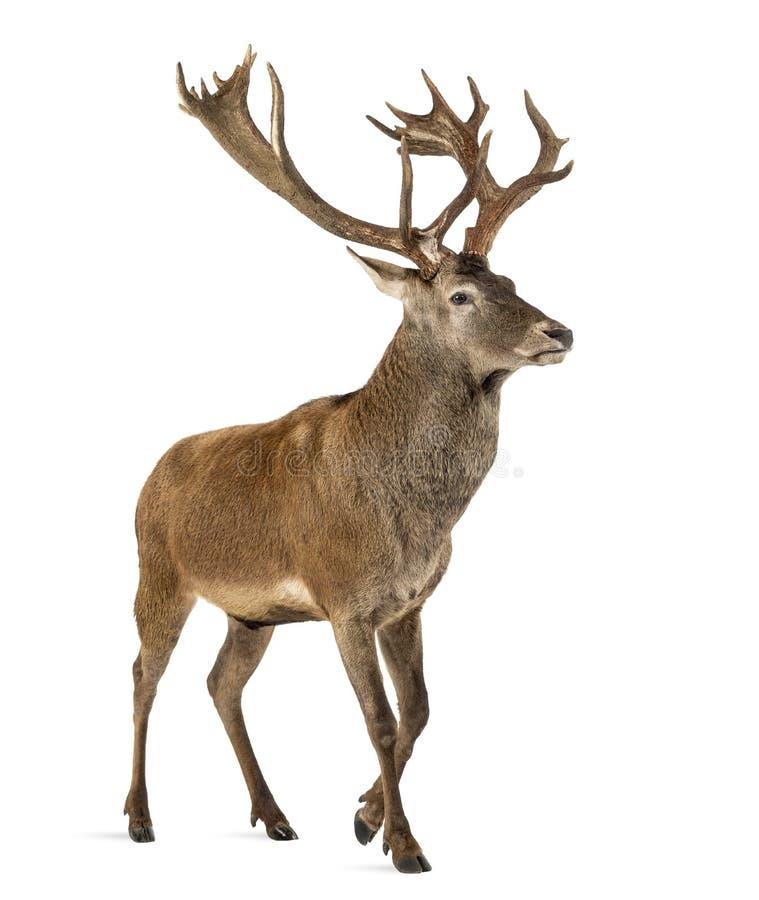 鹿红色雄鹿 免版税图库摄影