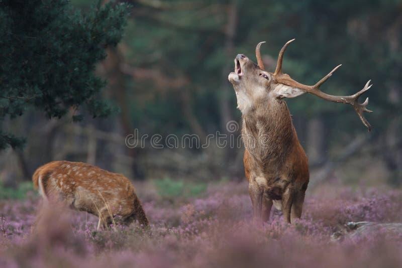 鹿红色 库存图片