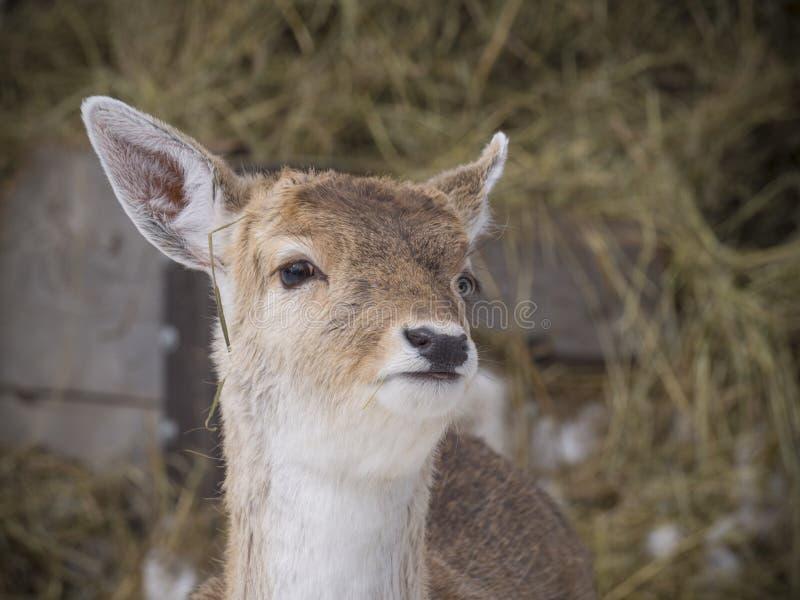 Download 鹿蒙大拿尾标白色 库存图片. 图片 包括有 冬天, 哺乳动物, 的treadled, 敌意, 本质, 逗人喜爱 - 72355195