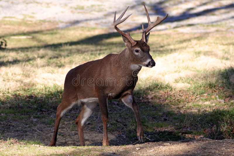 鹿被盯梢的白色 库存照片