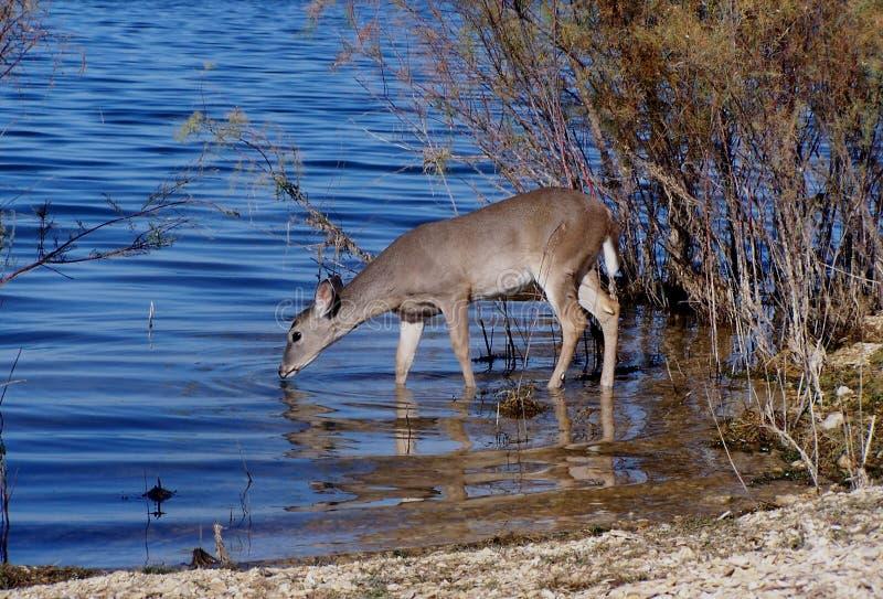 鹿被盯梢的白色 免版税库存照片