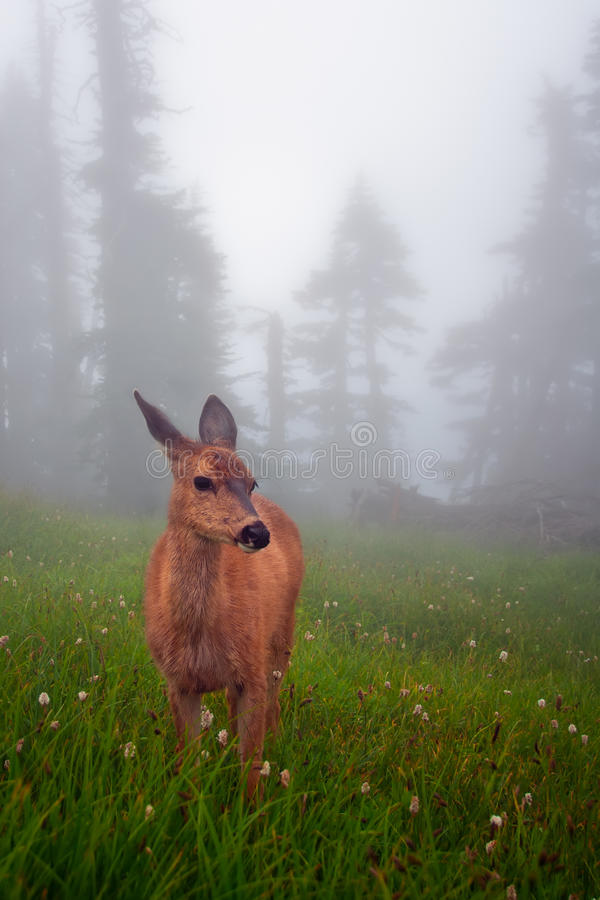 鹿被装载的雾草甸 图库摄影