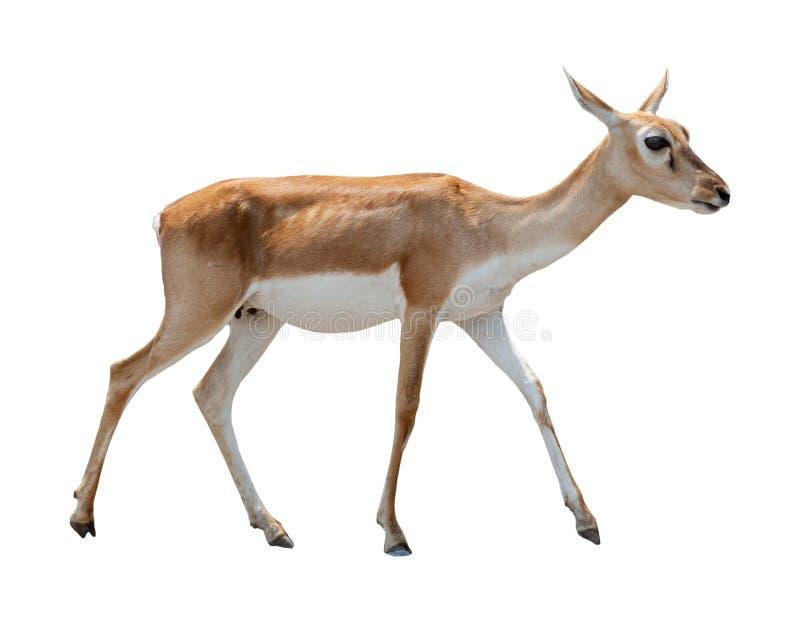 鹿被隔绝的白色 库存照片