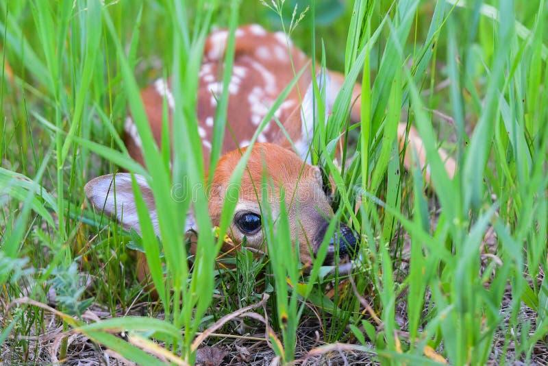 鹿讨好新出生的白尾鹿 库存照片