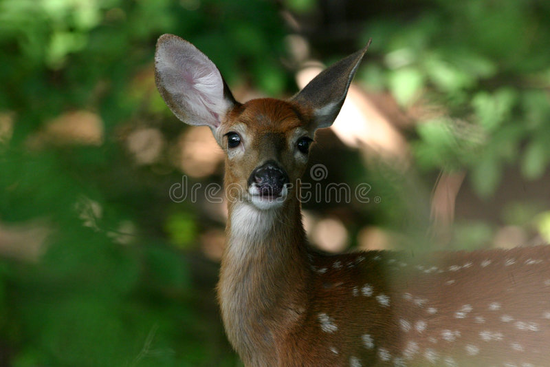 鹿讨好被盯梢的白色 图库摄影