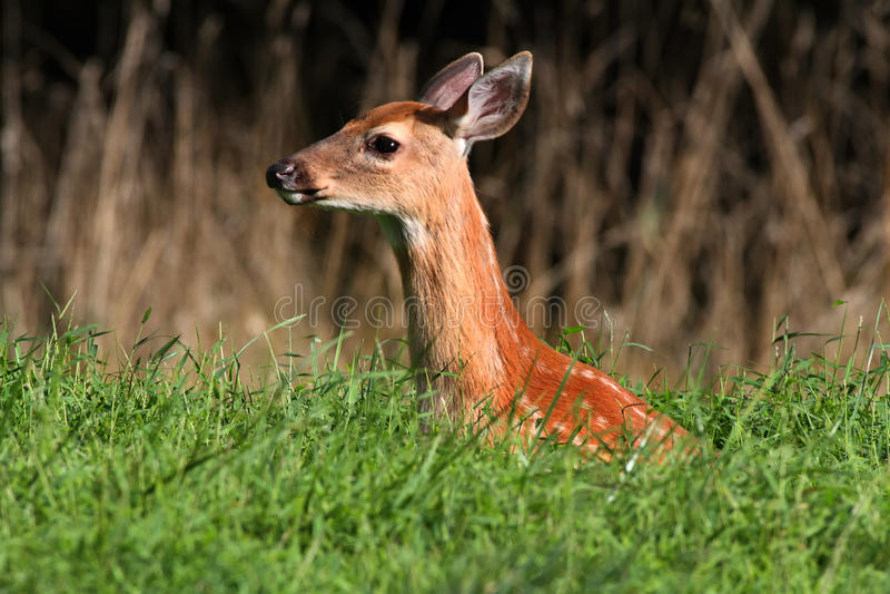 鹿讨好被盯梢的白色 免版税库存照片