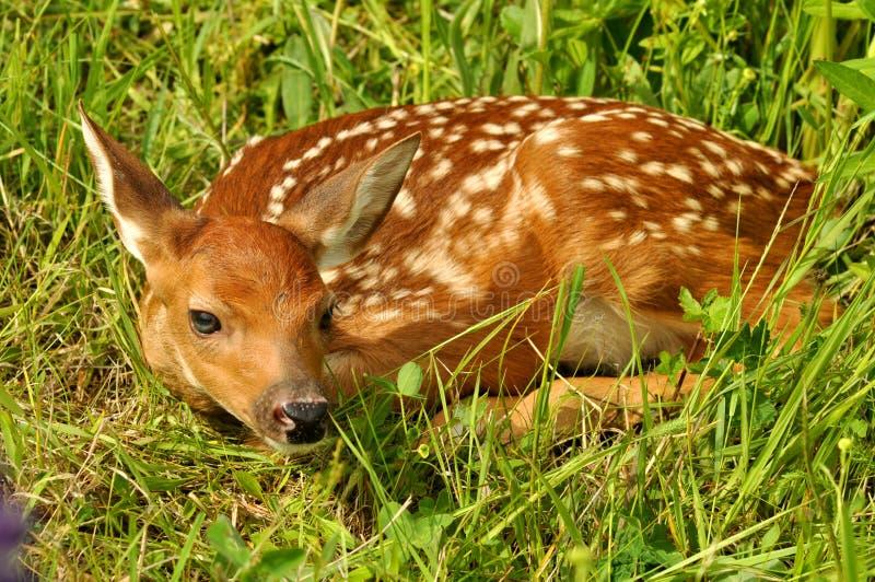 鹿讨好隐藏的被盯梢的白色 库存图片