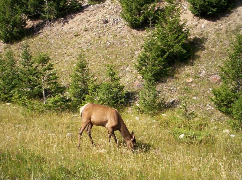 鹿路端被盯梢的白色 免版税库存照片