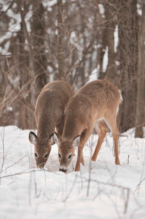 鹿配对多雪的被盯梢的空白森林 图库摄影