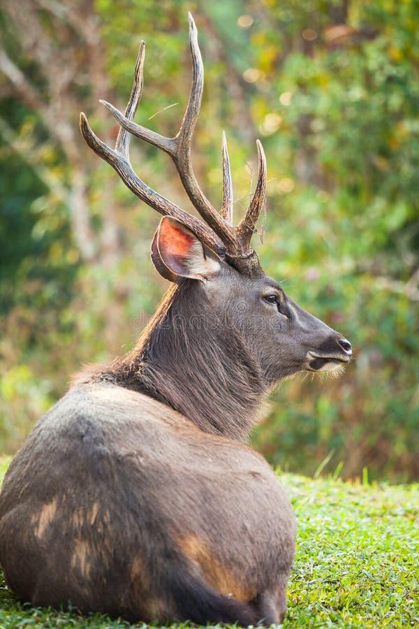 水鹿鹿 免版税库存照片