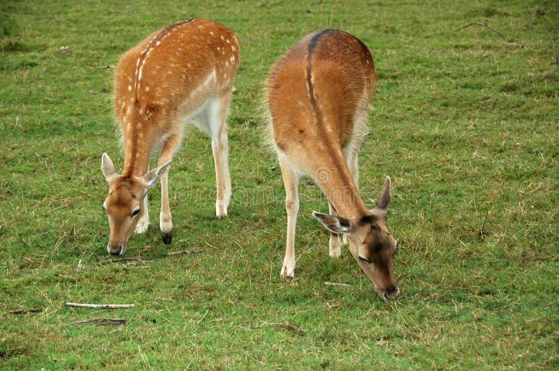 Download 鹿,休闲地DF (黄鹿黄鹿) 库存照片. 图片 包括有 动物学, 垫铁, 抗氧剂, 反刍动物, 迟钝的, 哺乳动物 - 30332274