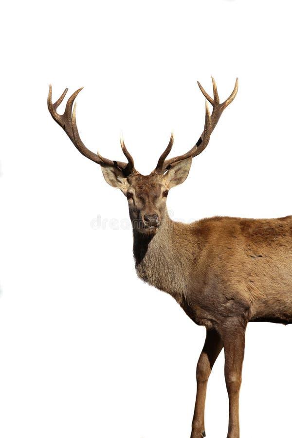 鹿 库存照片