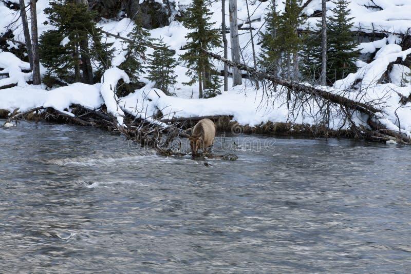 麋临近河,冬天,黄石NP 图库摄影
