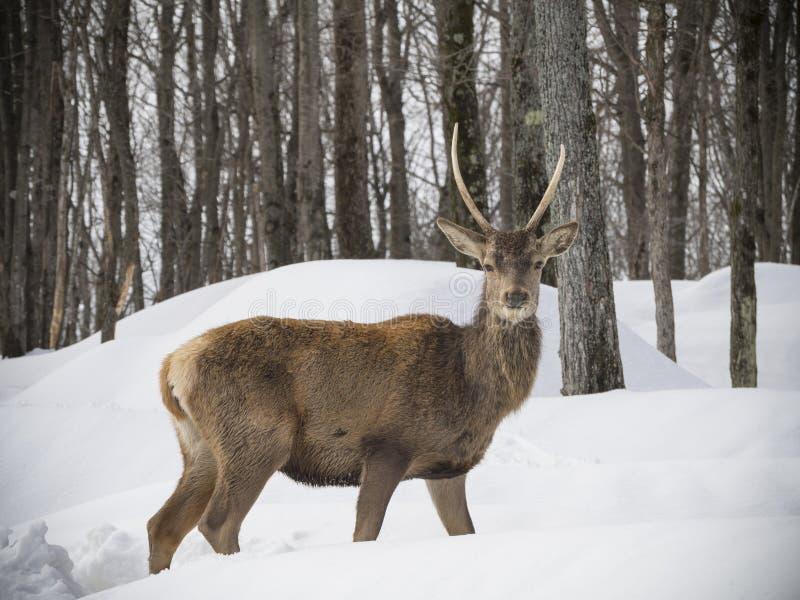 Download 麋在森林 库存图片. 图片 包括有 森林, 哺乳动物, 抗氧剂, 动物区系, 冻结, 的treadled - 72356155