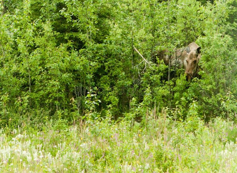 麋在森林 库存照片