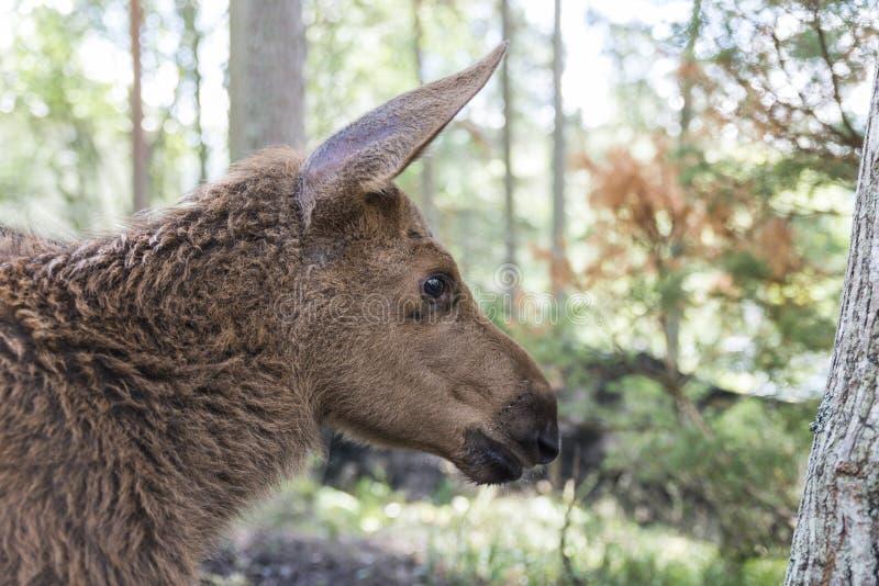 麋或欧洲麋驼鹿属驼鹿属幼小小牛在森林里 免版税库存图片