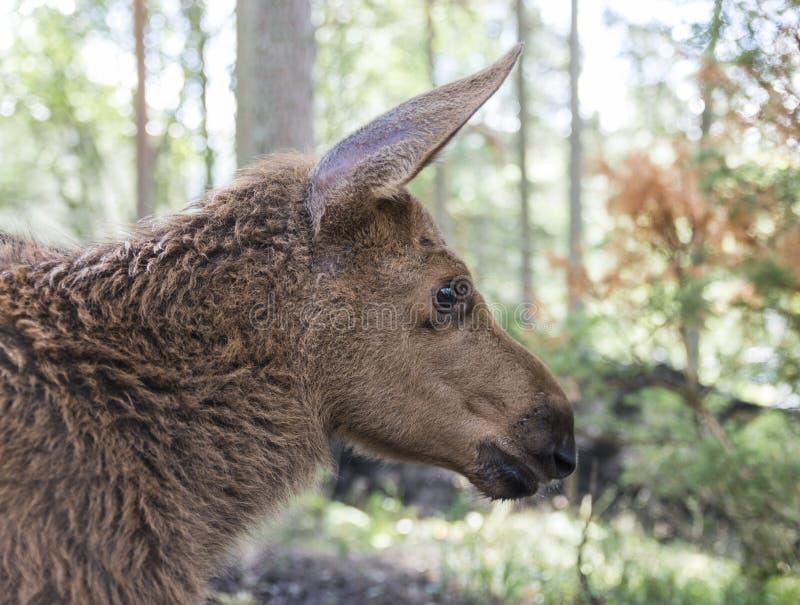 麋或欧洲麋驼鹿属驼鹿属幼小小牛在森林里 库存图片