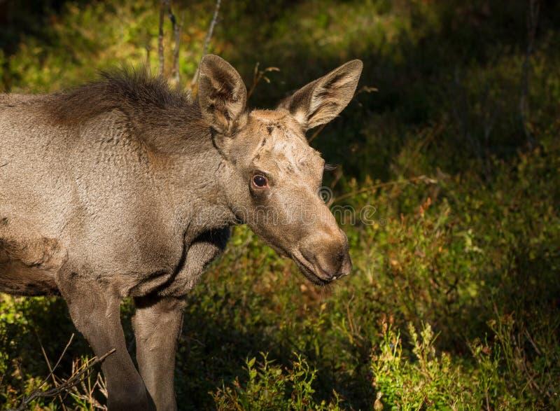麋或欧洲麋驼鹿属驼鹿属幼小小牛在越桔森林里 库存照片