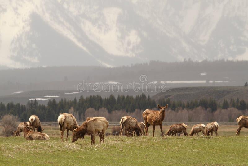 麋牧群 库存照片