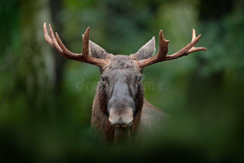 麋,麋细节画象  在雨天期间,麋、北美或者欧亚麋,欧亚大陆,驼鹿属驼鹿属在黑暗的森林里 是 免版税库存照片