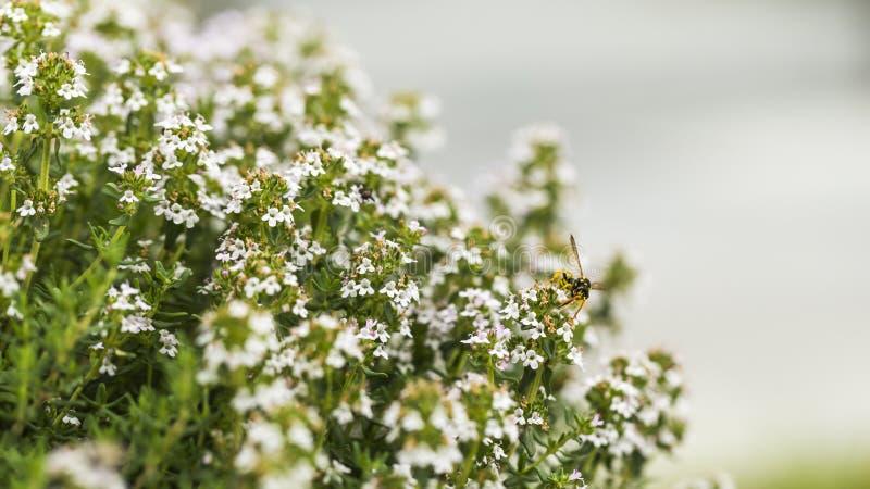 麝香草开花和蜂 免版税库存照片
