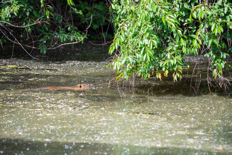 麝香鼠在一条小浅河游泳 免版税库存图片
