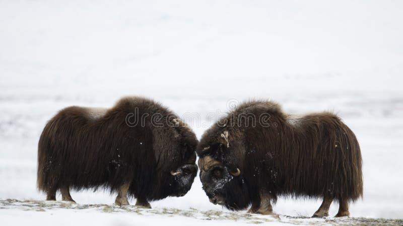 战斗的麝香黄牛对在Norge 免版税库存图片
