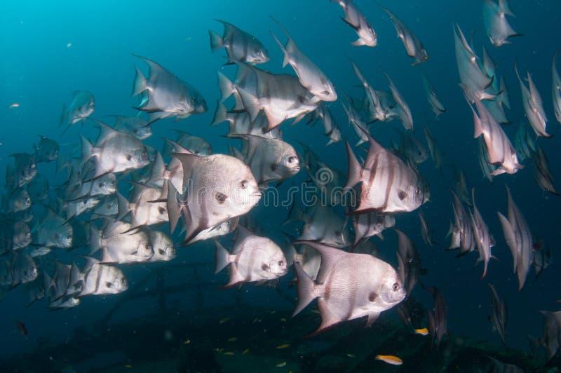 细麟白鲳游泳学校在海洋 库存照片