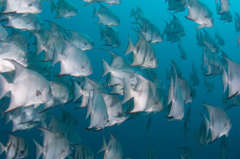 细麟白鲳游泳学校在海洋 免版税库存图片