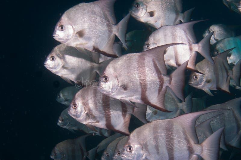 细麟白鲳游泳学校在海洋 免版税库存照片