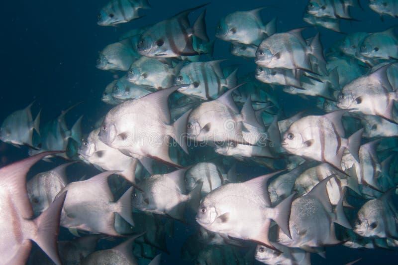 细麟白鲳游泳学校在海洋 免版税图库摄影