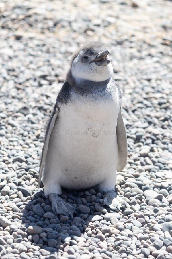 麦哲伦,巴塔哥尼亚阿根廷企鹅  免版税库存照片