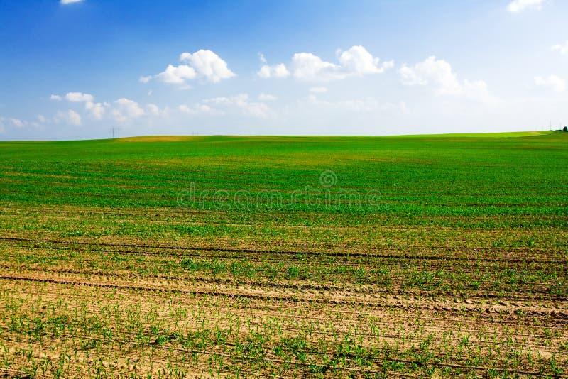 麦地生长 库存图片