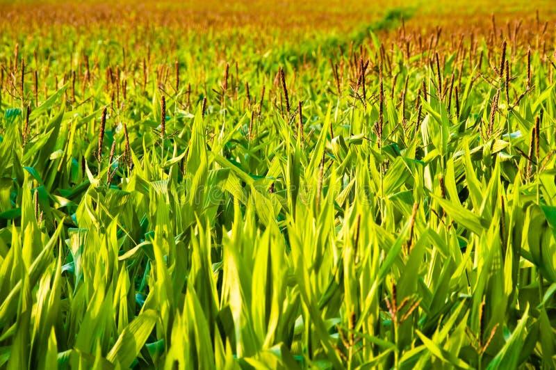 麦地生长 免版税库存图片